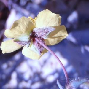 Fumana laevipes (L.) Spach (Fumana à feuilles étroites)
