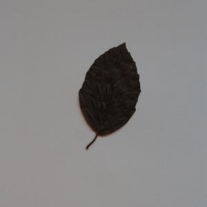Photographie n°103681 du taxon Fagus sylvatica L.