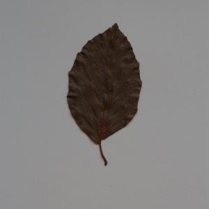 Photographie n°103682 du taxon Fagus sylvatica L.
