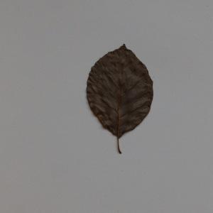 Photographie n°103683 du taxon Fagus sylvatica L.