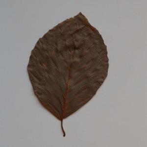 Photographie n°103684 du taxon Fagus sylvatica L.