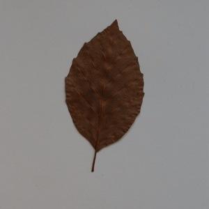 Photographie n°103685 du taxon Fagus sylvatica L.