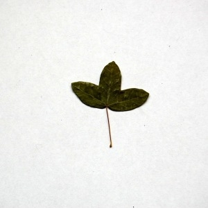 Photographie n°103701 du taxon Acer monspessulanum L. [1753]