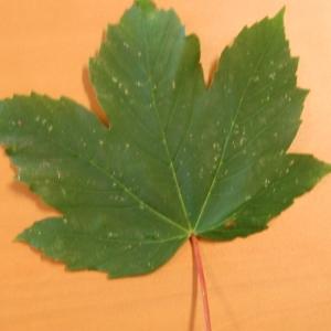 Photographie n°103727 du taxon Acer pseudoplatanus L.
