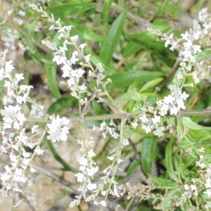 Photographie n°103749 du taxon Aloysia citriodora Ortega ex Pers. [1806]