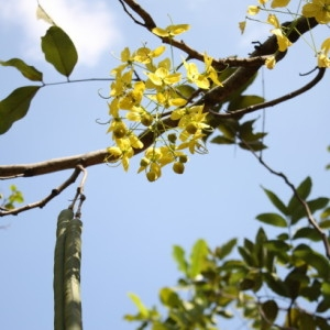 Cassia fistula L. (Baton kas)