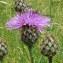 Joceline Chappert-bessiere - Centaurea scabiosa L. [1753]