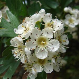 Crataegus azarolus L. (Azarolier)