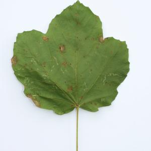Photographie n°103822 du taxon Acer opalus Mill.