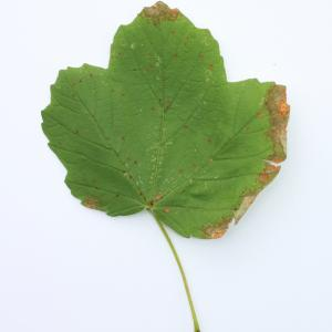 Photographie n°103825 du taxon Acer opalus Mill.