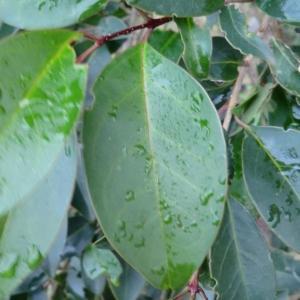 Photographie n°103919 du taxon Ligustrum lucidum W.T.Aiton [1810]