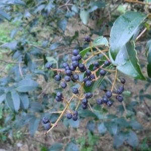 Ligustrum lucidum W.T.Aiton (Troène de Chine)