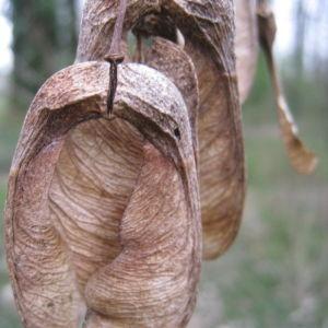 Photographie n°104060 du taxon Acer pseudoplatanus L.