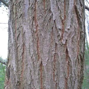 Photographie n°104063 du taxon Acer pseudoplatanus L.