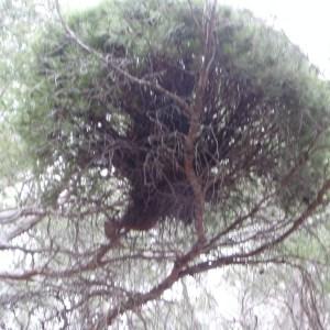 Photographie n°104068 du taxon Pinus halepensis Mill. [1768]