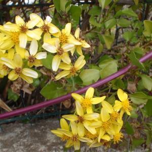 Senecio angulatus L.f. (Séneçon anguleux)