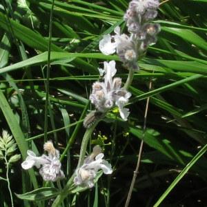 Nepeta nepetella L. (Népéta à feuilles lancéolées)