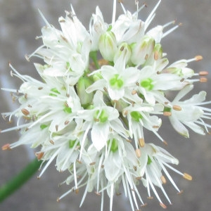 Photographie n°104292 du taxon Allium ericetorum Thore [1803]