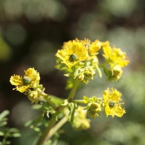 Photographie n°104457 du taxon Ruta graveolens L.