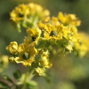 Photographie n°104460 du taxon Ruta graveolens L.