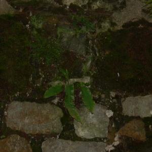Photographie n°104527 du taxon Asplenium scolopendrium L. [1753]