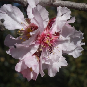 Prunus dulcis (Mill.) D.A.Webb (Amandier)