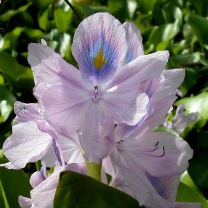 Photographie n°104632 du taxon Eichhornia crassipes (Mart.) Solms