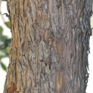 Photographie n°104685 du taxon Arbutus unedo L. [1753]
