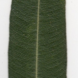 Photographie n°104686 du taxon Nerium oleander L. [1753]