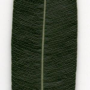 Photographie n°104687 du taxon Nerium oleander L. [1753]