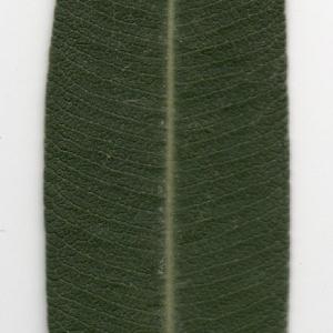 Photographie n°104688 du taxon Nerium oleander L. [1753]