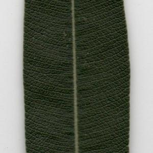 Photographie n°104692 du taxon Nerium oleander L. [1753]