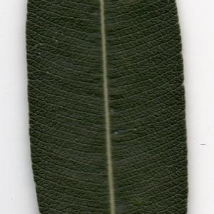 Photographie n°104693 du taxon Nerium oleander L. [1753]