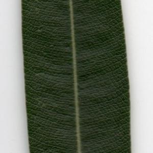 Photographie n°104695 du taxon Nerium oleander L. [1753]