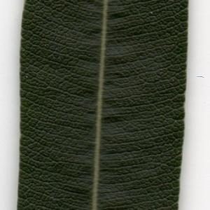 Photographie n°104696 du taxon Nerium oleander L. [1753]