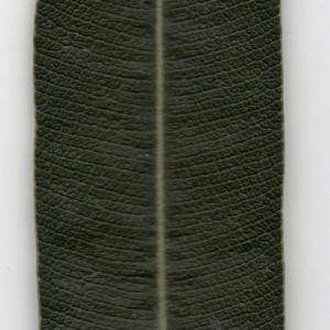 Photographie n°104697 du taxon Nerium oleander L. [1753]