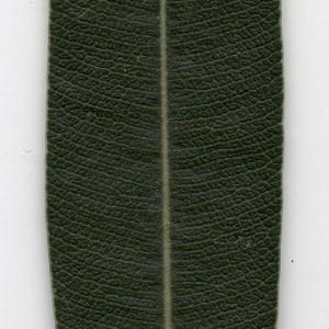 Photographie n°104698 du taxon Nerium oleander L. [1753]