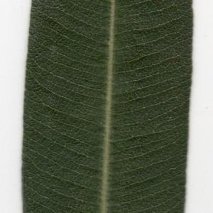 Photographie n°104699 du taxon Nerium oleander L. [1753]