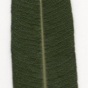 Photographie n°104700 du taxon Nerium oleander L. [1753]