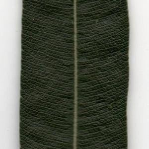 Photographie n°104701 du taxon Nerium oleander L. [1753]