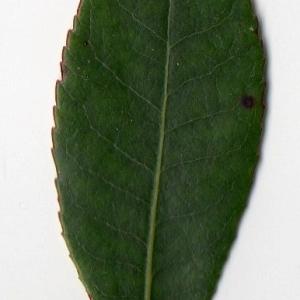 Photographie n°104737 du taxon Arbutus unedo L. [1753]