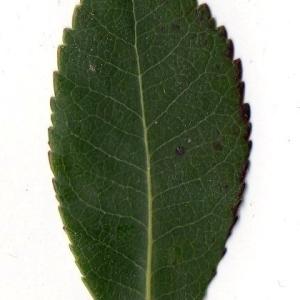Photographie n°104738 du taxon Arbutus unedo L. [1753]