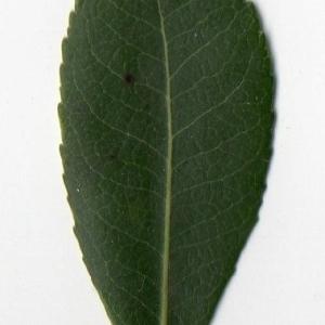 Photographie n°104739 du taxon Arbutus unedo L. [1753]