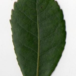 Photographie n°104741 du taxon Arbutus unedo L. [1753]