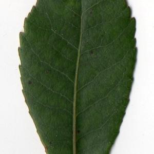 Photographie n°104744 du taxon Arbutus unedo L. [1753]
