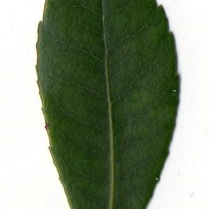 Photographie n°104745 du taxon Arbutus unedo L. [1753]
