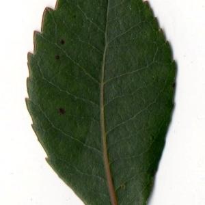 Photographie n°104746 du taxon Arbutus unedo L. [1753]
