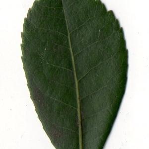 Photographie n°104747 du taxon Arbutus unedo L. [1753]