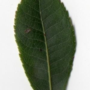 Photographie n°104749 du taxon Arbutus unedo L. [1753]
