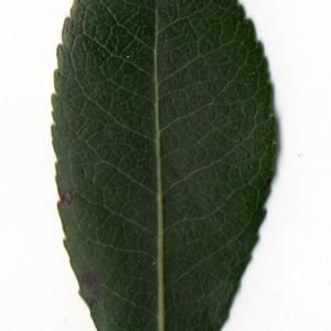 Photographie n°104750 du taxon Arbutus unedo L. [1753]